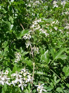 leafy vine with numerous small white star-like flowers