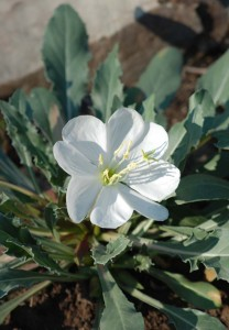 slightly toothed bluish-green basal leaves and 4-petalled large white flower