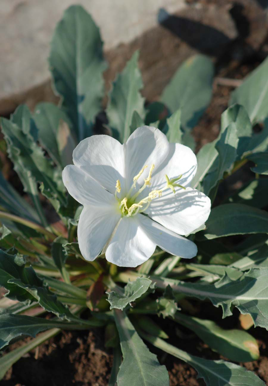 White Evening Primrose Oenothera Caespitosa Blackfoot Native