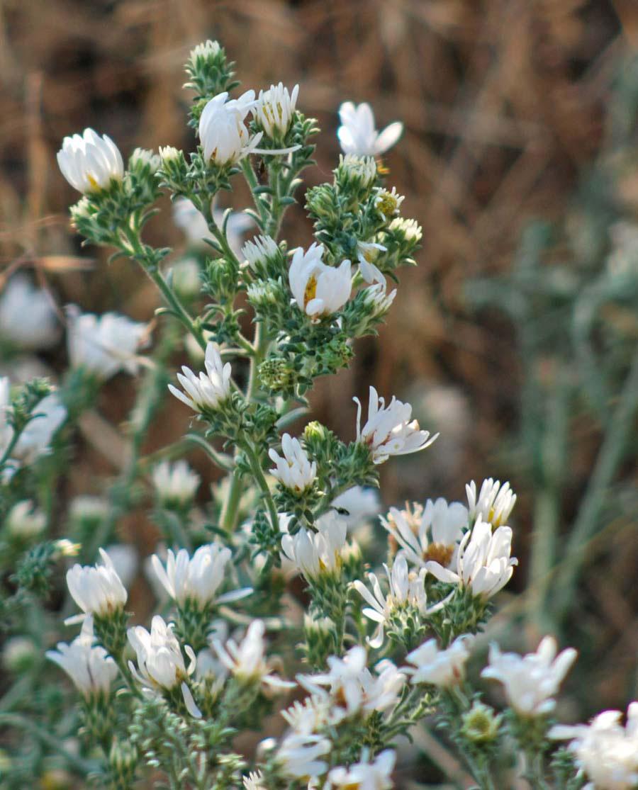 White Prairie Aster Aster Falcatus Blackfoot Native