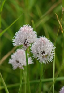 3 rose-pink to purplish ball-shaped flower heads on erect green stems
