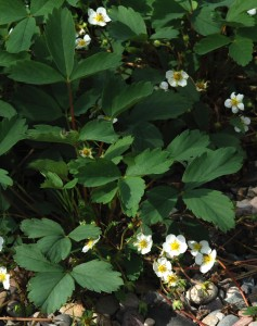 """dark green leaves with 1/2"""" to 3/4"""" white 5-petalled flowers with yellow stamens"""