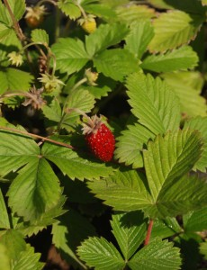 yellow-green deeply veined leaves with single red strawberry