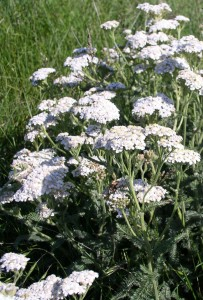 ferny dark green foliage and white clusters of tiny flowers on flat umbels
