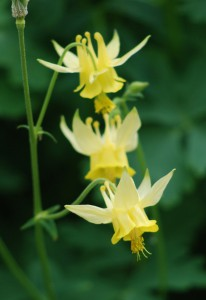 several pale yellow drooping flowers with yellow stamens