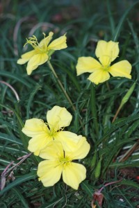 "narrow serrated leaves and several showy yellow 3-4"" flowers"