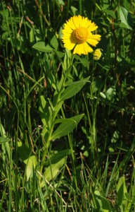 single stem with pointed green leaves and a yellow ray flower with a large yellow disk flower in center