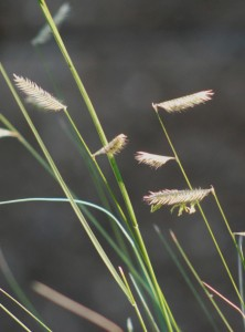 picture of Blue Grama grass 'eyebrow' seedheads