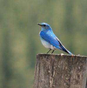 mountain bluebird on fence post