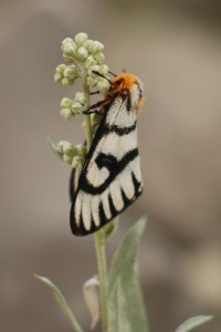 black and white moth with orange head feeding on sage