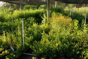 lots of green plants in nursery