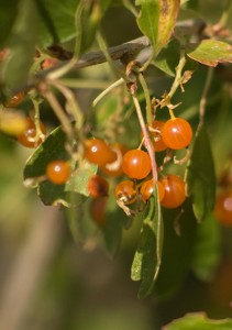orange berries hanging from green branches