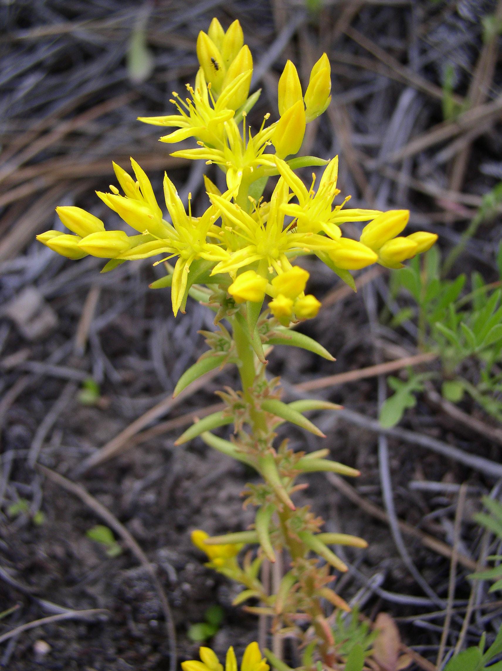 Narrow Leaf Stonecrop Sedum Stenopetalum Blackfoot Native
