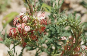 Orange-pink flowers dangle from blue-green foliage of Scarlet Gaura