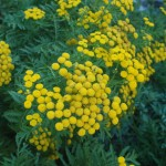 small yellow flowers of common tansy with green ferny leaves