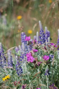 pink wild geranium with purple lupine, sagebrush and yellow agoseris