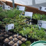 trays of plants labeled and ready for sale