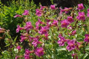bright pink flowers of Lewis' Monkeyflower