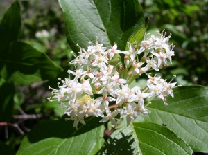 cluster of small white flowers among green leaves