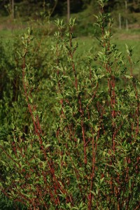 shrub with upright red stems and green leaves