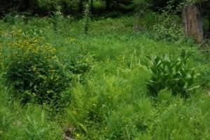 lush greenery of wet meadow plants