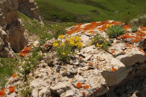 single plants of yellow ray flowers on beige rock covered with orange lichen