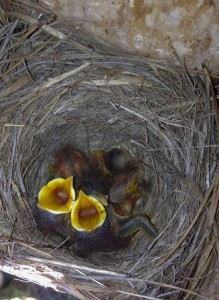 baby robins in nest with yellow mouths open wide