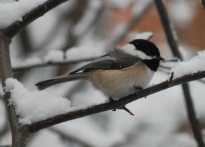 Black-capped chickadee on snowy branch