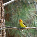 medium sized bird with scarlet head, yellow breast and black wings on limb of pine tree