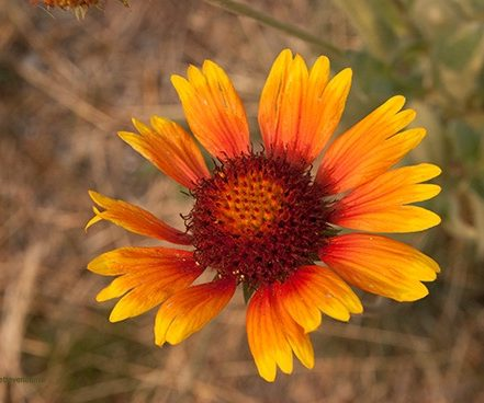 single, yellow and orange ray flower with reddish center