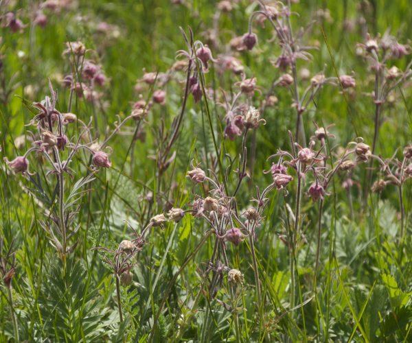 colony of pink flowerheads of prairie smoke with green ferny foliage