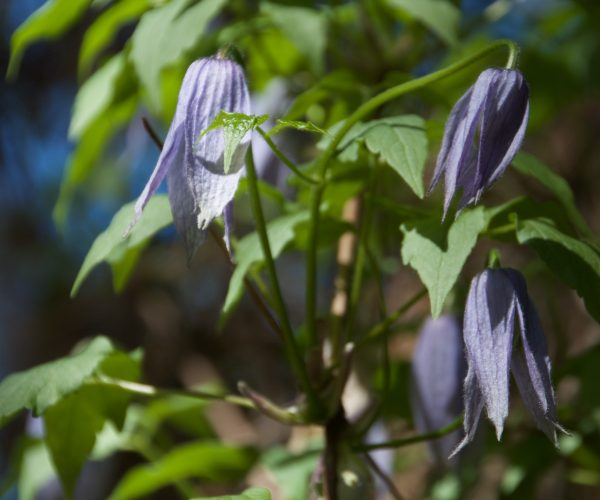 several blue flowers with pointed petals dangle from green vine