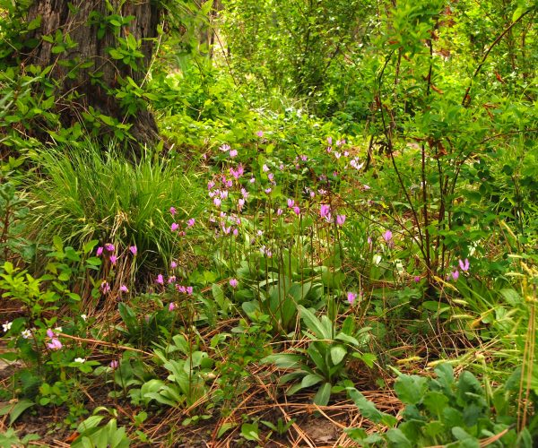 shooting star plants among sedges and shade-loving shrubs