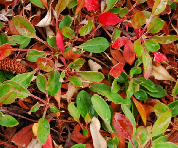 red and green leaves of sulphur buckwheat groundcover