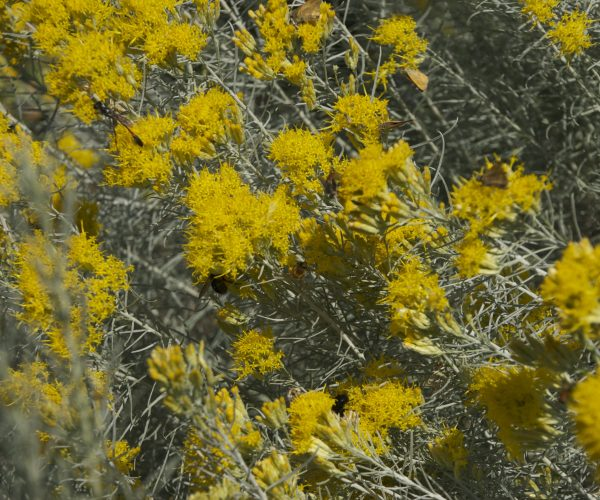 yellow flowers of rabbitbrush covered with butterflies, flies, bees and other insects
