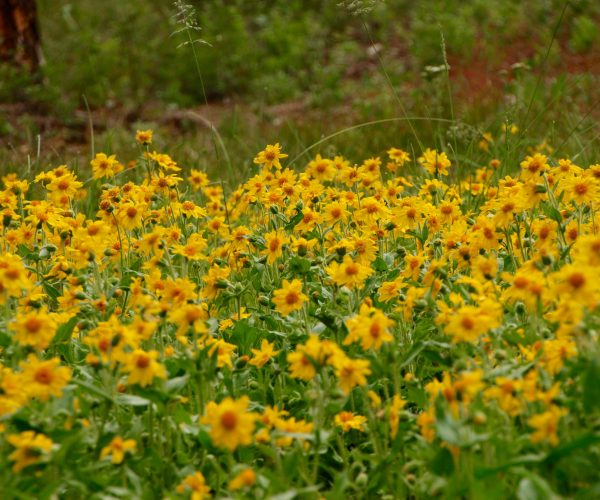 large community of heart-leaf arnica in bloom