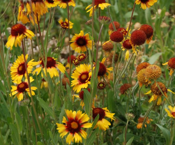 many yellow ray flowers with reddish centers on erect stems