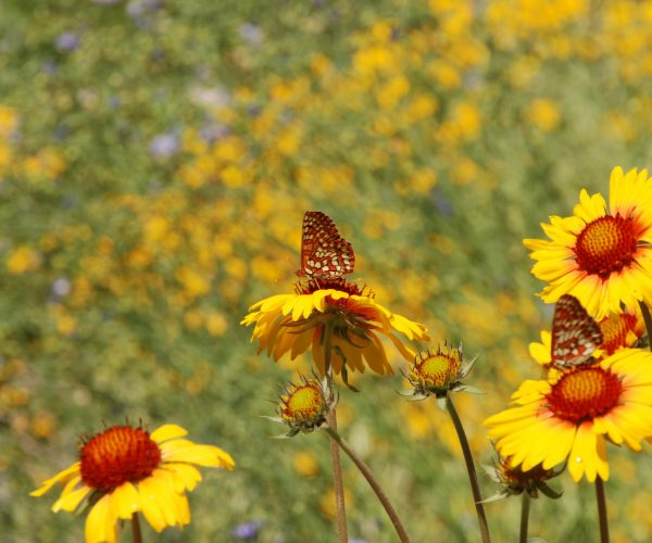 several yellow ray flowers with reddish centers with butterflies