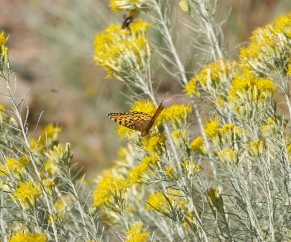 butterflies sip nectar from yellow rabbitbrush flowers