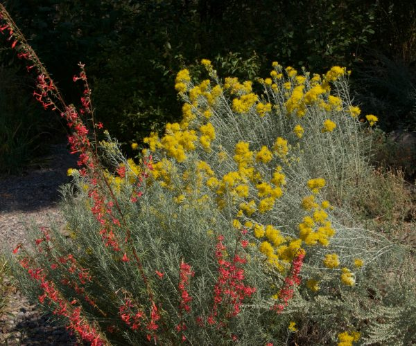 red trumpet like flowers of scarlet gilia with yellow flowering rabbitbrush