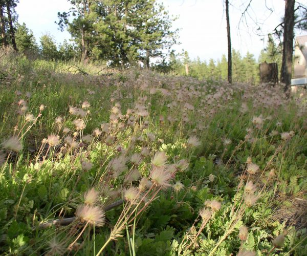 hillside covered with prairie smoke in seed