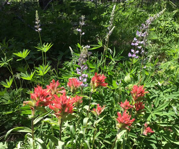clump of red paintbrush in front of a plant of purple lupine