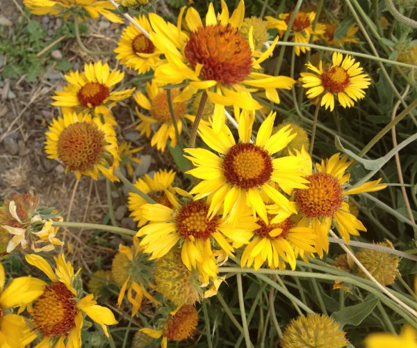 yellow blanket flowers with reddish centers in a cluster