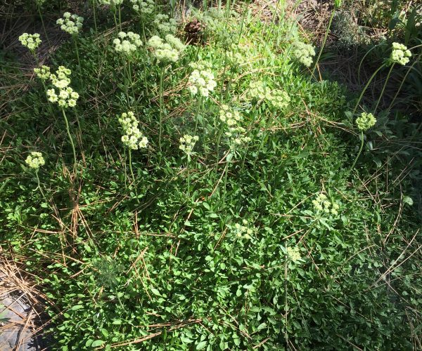 dense green groundcover with several stems of pale yellow flowers