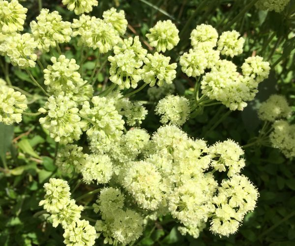 close-up view of sulphur buckwheat's pale yellow flowers arranged in umbels of ball-shaped clusters