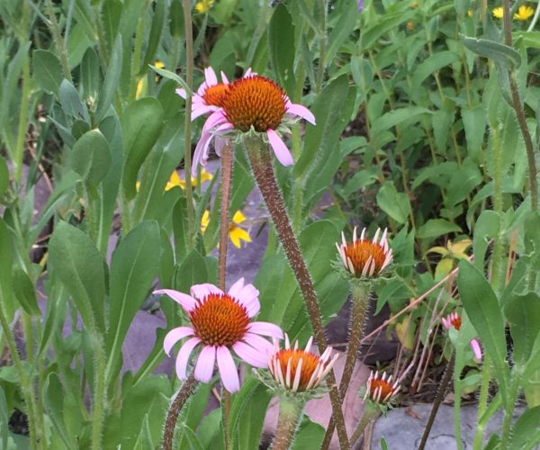 pink ray flowers with orange-brown disc flowers in center along garden path