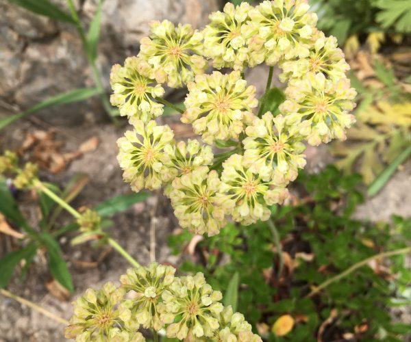 single umbel of sulphur buckwheat flowers