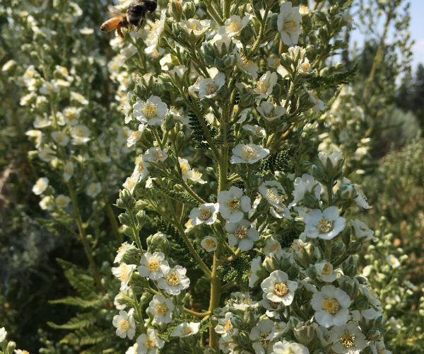 hundreds of white flowers with several pollinators