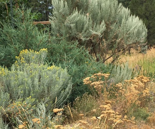 single large plant of big sage in garden