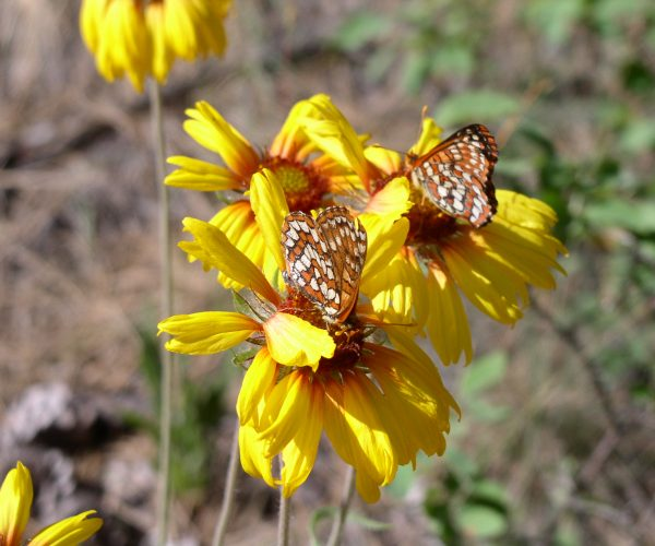 several yellow blanket flowers with checkerspot butterflies